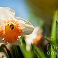 Golden Daffodils  by Venura Herath