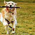 Golden Retreiver With Stick by Stephen O'Byrne