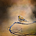 Goldfinch In Deep Thought by J Larry Walker