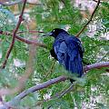 Grackle on a Branch