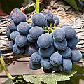 Grape Cluster Vine by Dina Calvarese