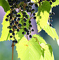 Grapes And Leaves by Michal Boubin