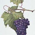 Grapes  by Margaret Ann Eden
