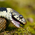 Grass Snake Feigning Death by Andy Harmer