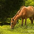 Grazing Horse by Charuhas Images