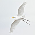 Great Egret Taking Off by Bmse
