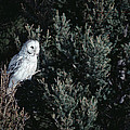 Great Gray Owl Strix Nebulosa In Blonde by Michael Quinton