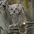 Great Horned Owl Pale Form Kootenays by Tim Fitzharris