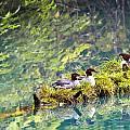 Grebe Podicipedidae Birds Sitting On A Print by Richard Wear
