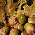 Green Acorns and Oak Leaves Poster by Jennifer Holcombe
