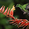 Green-crowned Brilliant Heliodoxa by Michael & Patricia Fogden