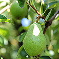 Green Pear by Carol Groenen