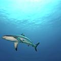 Grey Reef Shark by James R.D. Scott