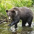 Grizzly Cub Catching Fish In Fish Creek by Richard Wear
