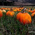 Halloween Pumpkin Patch 7d8405 by Wingsdomain Art and Photography