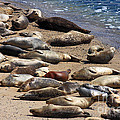 Harbor Seals Sunbathing On The Beach . 40D7553 Print by Wingsdomain Art and Photography