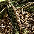 Hawaiian Cypress by Micah May