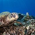 Hawaiian Turtle On Pacific Reef by Dave Fleetham