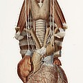 Heart And Neck, Historical Illustration by