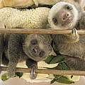 Hoffmanns Two-toed Sloth Orphaned Babies by Suzi Eszterhas