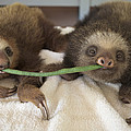 Hoffmanns Two-toed Sloth Orphans Eating by Suzi Eszterhas