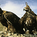 Hooded Eagles Stand Ready For Hunting by Ed George