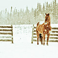 Horse In A Snowstorm by Roberta Murray - Uncommon Depth