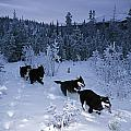 Huskie Pups Out For A Run In The Snow Print by Paul Nicklen