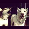 Husky Dogs by Photography by Brandon Shepherd