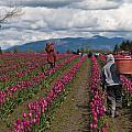 In The Tulip Fields by Mike Reid