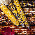 Indian Corn by Garry Gay