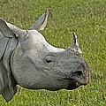 Indian Rhinoceros by Tony Camacho
