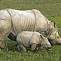 Indian Rhinoceroses by Tony Camacho