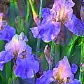 Iris 51 by Pamela Cooper