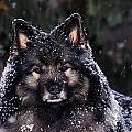 Keeshond Dog, Winnipeg, Manitoba Print by Mike Grandmailson