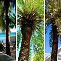 Key West Palm Triplets Print by Susanne Van Hulst