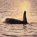 Killer Whale by Alexis Rosenfeld