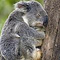 Koala Phascolarctos Cinereus Sleeping by Pete Oxford