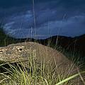 Komodo Dragon Varanus Komodoensis by Cyril Ruoso