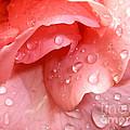 La Vie En Rose by Jan Willem Van Swigchem