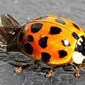 Ladybug Folding Wings by Mark J Seefeldt