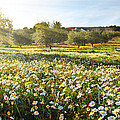 Landscape With Daisies by Carlos Caetano