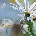 Late Sunshine on Daisies Print by Kaye Menner