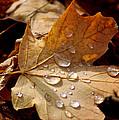 Leaf Doplets by LeeAnn McLaneGoetz McLaneGoetzStudioLLCcom