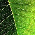 Leaf Texture by Carlos Caetano
