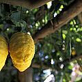 Lemons Hanging From A Lemon Tree Print by Richard Nowitz