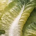 Lettuce Leaf by Sheila Terry
