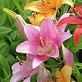 Lilies (lilium Sp.) by Tony Craddock