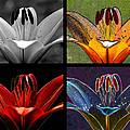 Lily Quartet by Judi Quelland