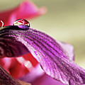 Lily's Drop by Gulale